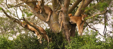 Ishasha's rare tree climbing lions | suburb2suburb.com | Uganda News Travel Adventure | Scoop.it