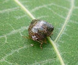 Research Finds Invasive Kudzu Bugs May Pose Greater Threat Than Previously Thought   Sustain Our Earth   Scoop.it