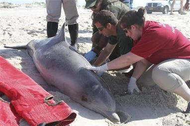 World Environment News - Measles-like virus may be cause of dolphin deaths on U.S. coast - Planet Ark | Virology and Bioinformatics from Virology.ca | Scoop.it