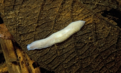 How to regrow your head: Single gene switch makes worms regenerate whole body parts | Amazing Science | Scoop.it