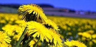 Dandelions could be the next source for rubber - Care2 News Network | Hevea brasiliensis | Scoop.it