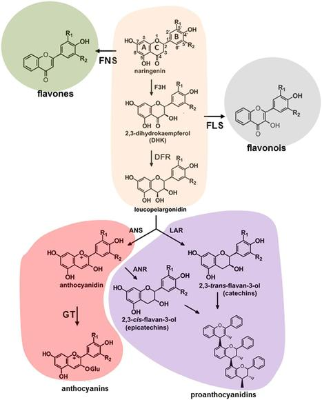 Frontiers | Flavonoids: a metabolic network mediating plants adaptation to their real estate | Plant Metabolism and Chemodiversity | Plant-Microbe | Scoop.it