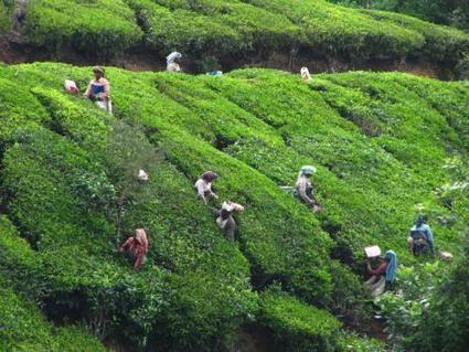 Choose the best online tea exporte | Budwhitetea | Scoop.it