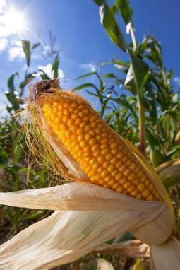 Les députés s'opposent à l'autorisation du nouveau maïs transgénique | EntomoNews | Scoop.it