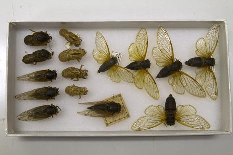 Billions of cicadas set to blanket East Coast - Boston Globe   APS Instructional Technology ~ Science Content   Scoop.it