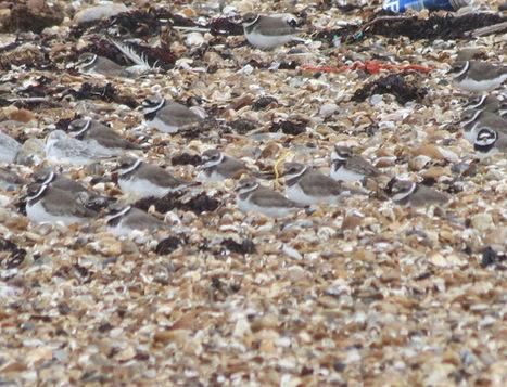 indie birder: Sweaty-palmated Plover | Birding Britain & Ireland | Scoop.it