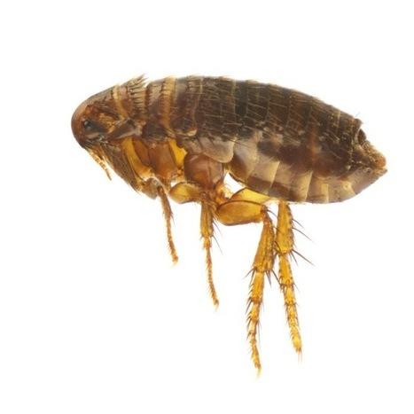 cedar flea spray | Real estate | Scoop.it
