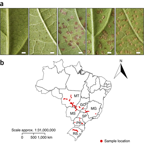 Nature Biotech: A pigeonpea gene confers resistance to Asian soybean rust in soybean (2016) | Plants and Microbes | Scoop.it