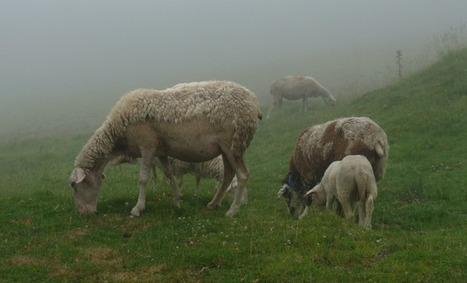 Ours des Pyrénées: Quatre éleveurs indemnisés en urgence | Agriculture Aquitaine | Scoop.it