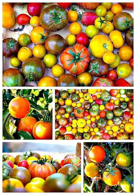 Tomato harvest in LeMarche | Organic Pathos | Scoop.it