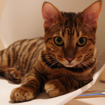 Toyger Cat | Cat Breeds Information | Scoop.it