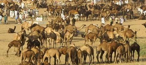 Découvrez la foire de Pushkar et ses dromadaires en novembre 2013 avec Shanti Travel ! | E-tourisme et nouvelles tendances du Tourisme | Scoop.it