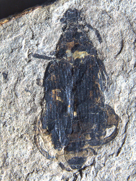 Fossil palm beetles 'hindcast' 50-million-year-old winters   Geology   Scoop.it