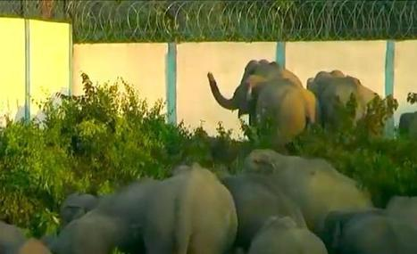 Elephants Can't Reach Water Because People Want To Play Golf   Nature Animals humankind   Scoop.it
