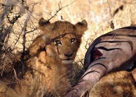 Kruger Park Sightings: Watching The Kids Eat Dinner   Kruger & African Wildlife   Scoop.it