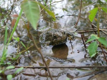 Deadly frog fungus dates back to 1880s, studies find | GarryRogers Biosphere News | Scoop.it