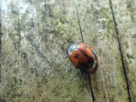 Photo d'insecte du Québec : Diapère tacheté - Diaperis maculata - Ténébrion maculé - Spotted fungus beetle | Fauna Free Pics - Public Domain - Photos gratuites d'animaux | Scoop.it