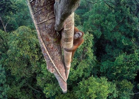 Impresionante imagen de un orangután escalando una higuera gigante gana el Premio al Fotógrafo de Vida Silvestre de 2016 - BBC Mundo | I didn't know it was impossible.. and I did it :-) - No sabia que era imposible.. y lo hice :-) | Scoop.it