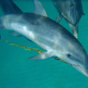 Two-Way Communication With Dolphins Begins With 'Sargassum' | Knowmads, Infocology of the future | Scoop.it