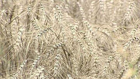 Le blé français, abimé par les intempéries, va manquer d'acheteurs - France 3 Bourgogne | Le Fil @gricole | Scoop.it