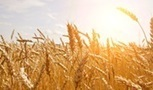 IGC World grain production to reach new record   Food Security   Scoop.it