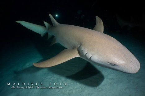 Plongée aux Maldives : les atolls du centre version croisière bio ! - Le blog de la plongée Bio | Biologie marine | Scoop.it