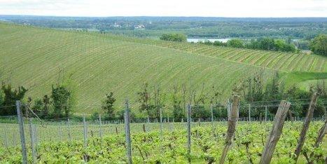 Vignoble : la recherche du clone parfait | Agriculture en Gironde | Scoop.it