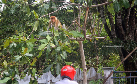 Photo 185   BEKANTAN -WILD INDONESIA   Bekantan - Wild Indonesia   Scoop.it