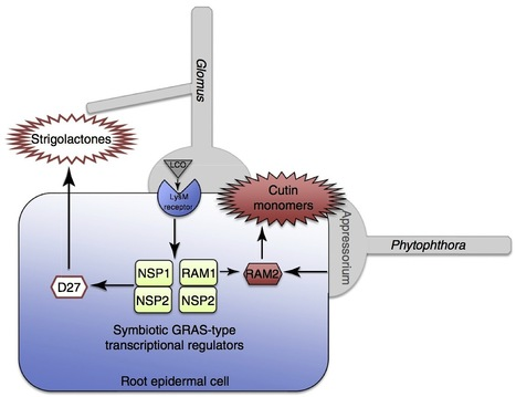 Current Biology: Mycorrhizal Symbiosis: Ancient Signalling Mechanisms Co-opted (2012) | Plants and Microbes | Scoop.it
