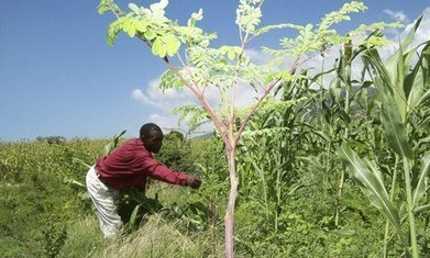 Haiti hopes miracle moringa tree can help to combat malnutrition | Growing Moringa | Scoop.it