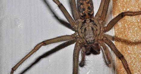 Est-ce vraiment judicieux de jeter les araignées de votre maison dehors ? | Biodiversité | Scoop.it