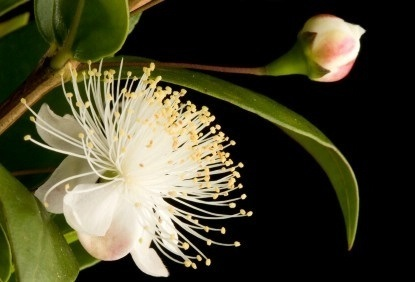 Manufacturers of pure myrtle oil | Free Business Listings Online | Scoop.it