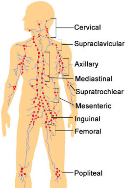 Lymph Nodes : Location, Pictures, Types, Significance | Anatomy | Scoop.it