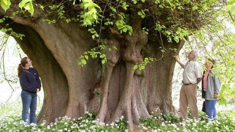11 of Britain's most legendary trees | Environment Wildlife Conservation | Scoop.it