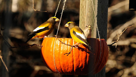 Pumpkin Bird Feeder Makes a Happy Harvest For Birds | Permaculture, Horticulture, Homesteading, Bio-Remediation, & Green Tech | Scoop.it