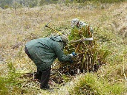 L'Herbe de la Pampa : une nouvelle menace pour ... | Espaces naturels littoraux | Scoop.it