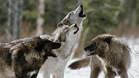 Stop the execution of Siberian wolves | GarryRogers Biosphere News | Scoop.it