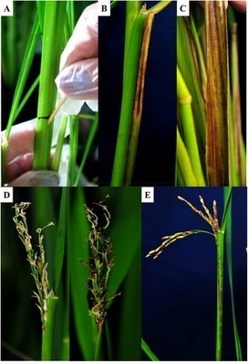 PLOS ONE: Rice-Infecting Pseudomonas Genomes Are Highly Accessorized and Harbor Multiple Putative Virulence Mechanisms to Cause Sheath Brown Rot | pathogens | Scoop.it