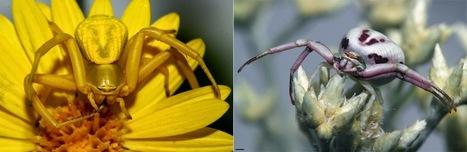 Le camouflage des araignées-crabes a ses limites | EntomoNews | Scoop.it