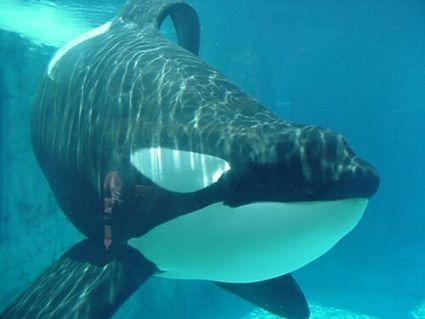#Orca News. These are news about captive orcas only (with a few exemptions)   #OrcaAvengers   Scoop.it