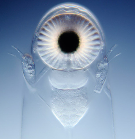Unusual Organism: One of a kind - water flea with gigantic single eye | Amazing Science | Scoop.it