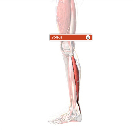 Soleus Muscle Origin, Function & Anatomy | Body Maps | Ilustración Médica | Scoop.it