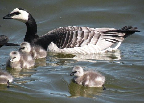Victory For The Barnacle Geese In Täby Community, Sweden! Won't Be Culled! :))) | Garry Rogers Nature Conservation News (#EcoSciFi) | Scoop.it