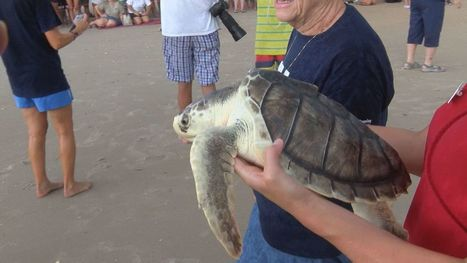 More than a dozen sea turtles released in ocean at Surf City | All about water, the oceans, environmental issues | Scoop.it