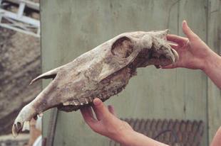 El ADN de un caballo de 7.000 siglos bate el récord de supervivencia / Noticias / SINC | publicaciones veterinarias | Scoop.it