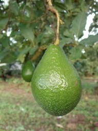 Avocado Benefits,Benefits Infos For Health | hospital world information | Scoop.it