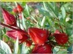 JAMAICA (Hibiscus sabdariffa) - Mind Map | JAMAICA (Hibiscus sabdariffa) | Scoop.it