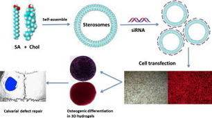 Delivery of siRNA via cationic Sterosomes to enhance osteogenic differentiation of mesenchymal stem cells | Stem cell news | Scoop.it