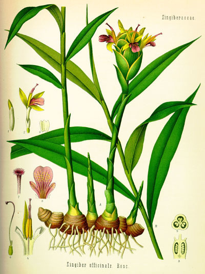 JENGIBRE (Zinhiber Officinale)   ECOLOGIA Y SALUD: Plantas aromáticas y medicinales.   Scoop.it