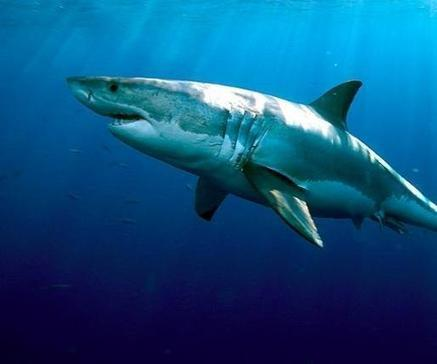 Study: Great white sharks grow slowly, can live a long time   Great White Sharks   Scoop.it